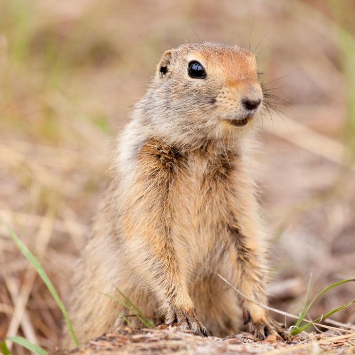 Squirrels May Help Solve More Internal Clock Mysteries