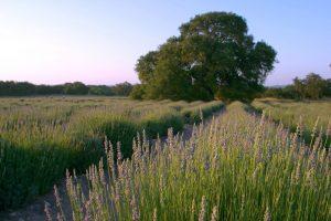 Field of calming lavender.